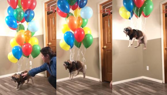 El can tiene su propia cuenta en TikTok con más de 132 mil seguidores. (Capturas: @peterdapoodle/TikTok)