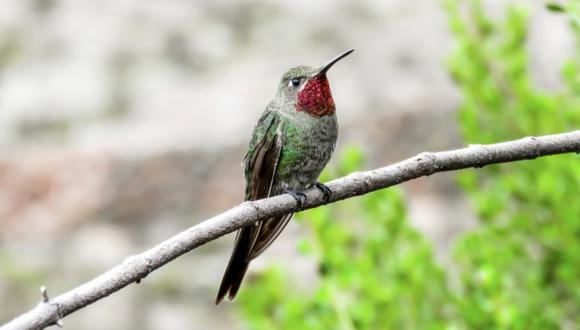 El colibrí colibronce. Foto: Sernanp