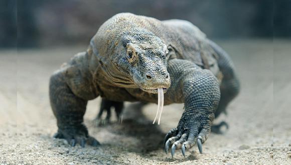 Dragón de Komodo. (Foto: Shutterstock)