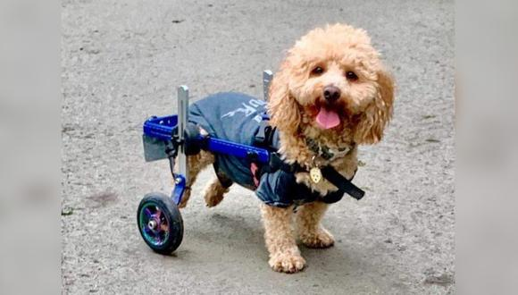 Henry es un perro rescatado de un matadero que se convirtió en perro de terapia. Su historia conmueve en redes sociales. (Foto: Henry Wee_Wheels / Facebook)