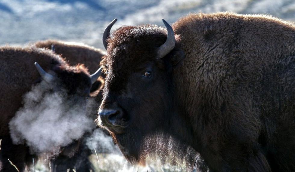 El video del bisonte podría fascinar a muchos usuarios. (Foto: Referencial - Pixabay)