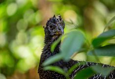 Muitú: el ave que volvió a nacer tras su extinción en el Iberá