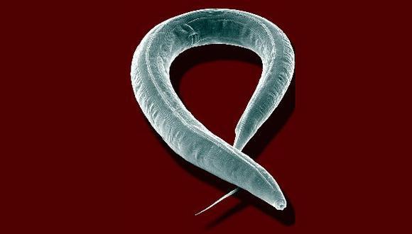 Hallan en gusanos un gen que es capaz de saciar el apetito
