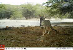 Cámaras trampa captan la fauna poco explorada de desierto y bosques secos de Perú y Ecuador