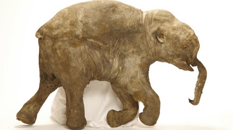 Averiguan la causa de muerte de mamuts al estilo CSI - 1
