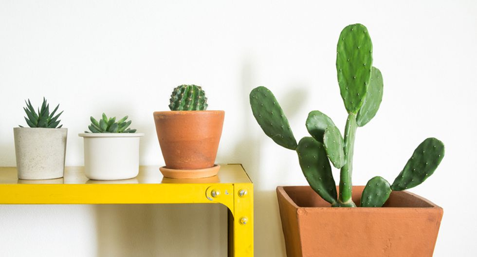 Los cactus son resistentes. Sin embargo, la tierra donde los plantes debe tener un buen drenaje, ser ligera y con muchos nutrientes, por lo que es necesario abonarlos. (Foto: Shutterstock)