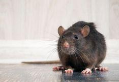 Coronavirus | Por qué la pandemia está haciendo que las ratas tengan un comportamiento más agresivo