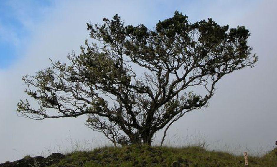 Hongo está matando a una importante especie de árbol en Hawái