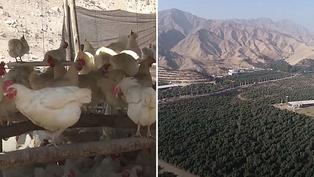 Ecología: Usan desechos de gallinas para plantar árboles de mandarina