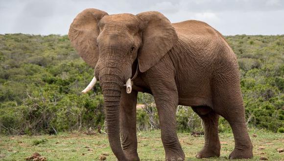 El estudio ofrece la primera mirada completa al genoma de los mamuts y mastodontes, así como de sus primos los elefantes, que alguna vez abundaron en la Tierra. (Foto: Pixabay CC0)