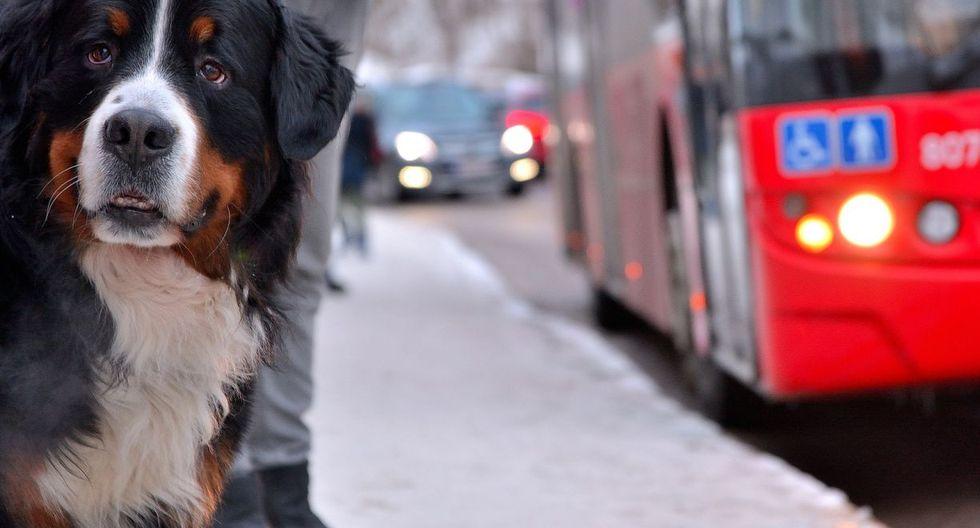 La perrita ya es conocida por los conductores de la ruta quienes la llevan y regresan a casa. (Foto: Pixabay)
