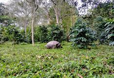 Las tortugas gigantes que hicieron brillar el café de Galápagos