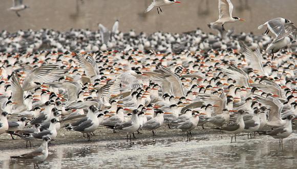 Además del centenar de especies de aves registradas en Puerto Viejo, el humedal brinda beneficios económicos a la población local (distrito de San Antonio, Mala) a través de la extracción de totora y junco. (Foto: Alejandro Tello)