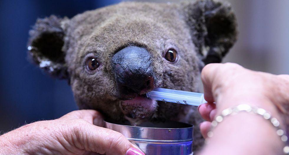 Un Koala deshidratado y herido recibe tratamiento en el Hospital Port Macquarie Koala en Port Macquarie el 2 de noviembre de 2019, luego de su rescate de un incendio forestal. (Foto: SAEED KHAN / AFP)