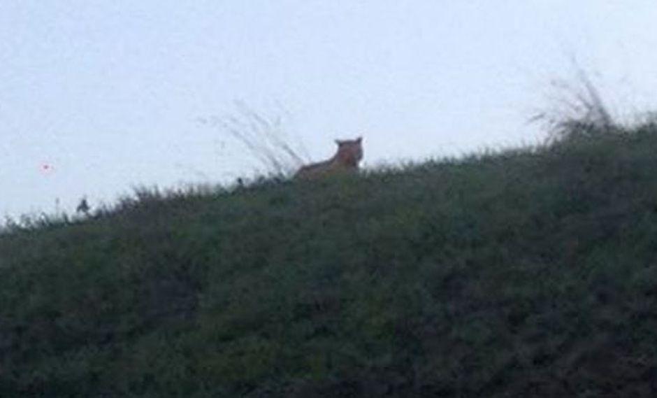 Francia: El felino que ronda Disneylandia no es un tigre