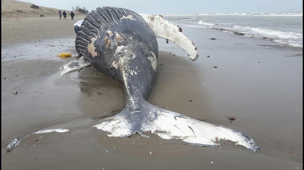 Ballena de 12 metros varó esta mañana en playa de Lambayeque  - 2