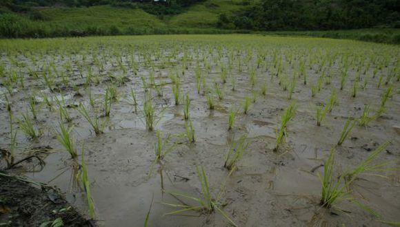Paro contra Tía María: 6 mil hectáreas de arroz se perderían