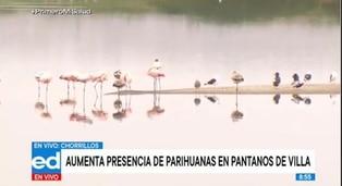 Pantanos de Villa: aumenta presencia de parihuanas y reportan cifra histórica