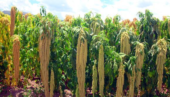 Ayacucho: presentan nuevas variedades de quinua y kiwicha para hacer frente a la pandemia (Foto: Midagri)