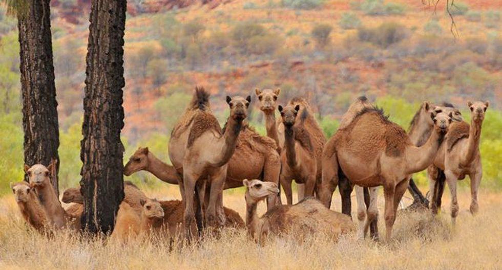 Los camellos fueron traídos a Australia en el siglo XIX y desde entonces se han convertido en salvajes. Foto: GETTY IMAGES, vía BBC Mundo