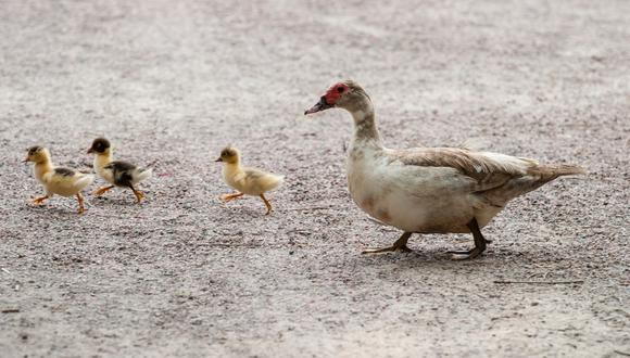 Una familia de patos protagonizó una inusual situación en una carretera de Rusia. (Pixabay)