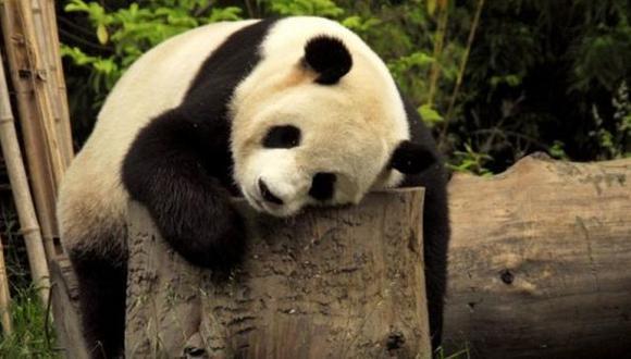 Muere un segundo panda de moquillo, se teme una epidemia