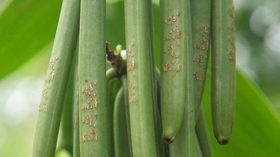 Los agricultores graban sus nombres, o a veces números en serie, en las vainas para desalentar los robos. (Foto: BBC Mundo)