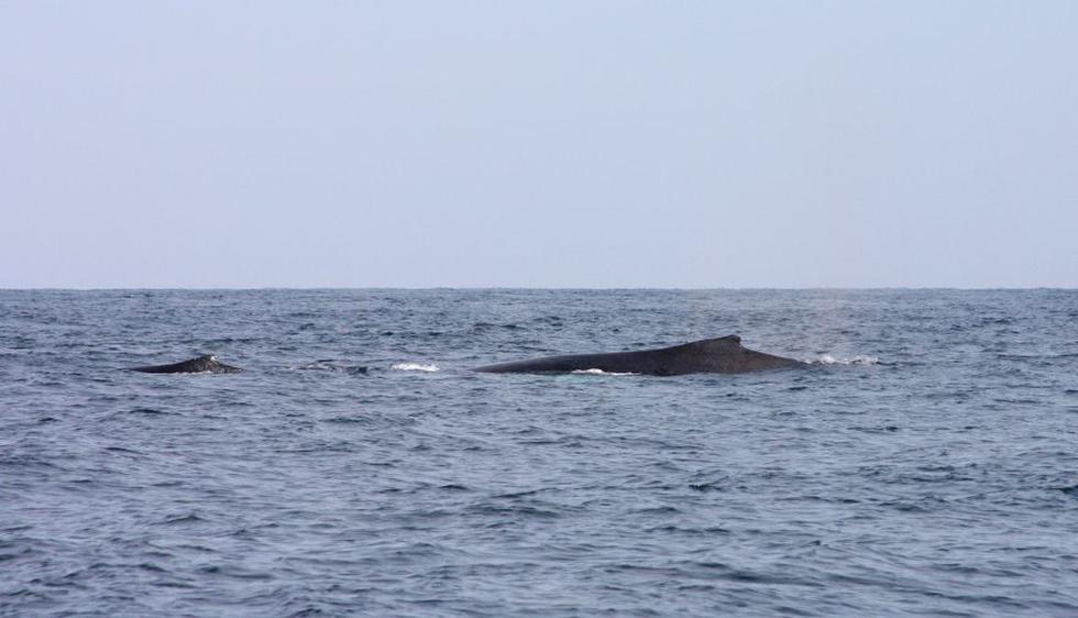 Ballenas jorobadas: empezó el avistamiento en Piura [FOTOS] - 3