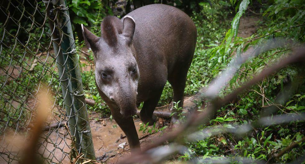 Este tapir era exhibido en un restaurante campestre hasta antes de llegar al Centro de Rescate Taricaya. Su rehabilitación es difícil (Foto: Alessandro Currarino/El Comercio).