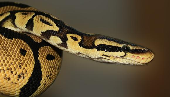 Policía indonesia usó una serpiente para interrogar a un sospechoso y ahora enfrentará una investigación. (Pixabay)