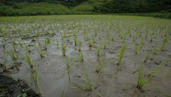 Arequipa: granizada y lluvia afectaron cultivos de orégano