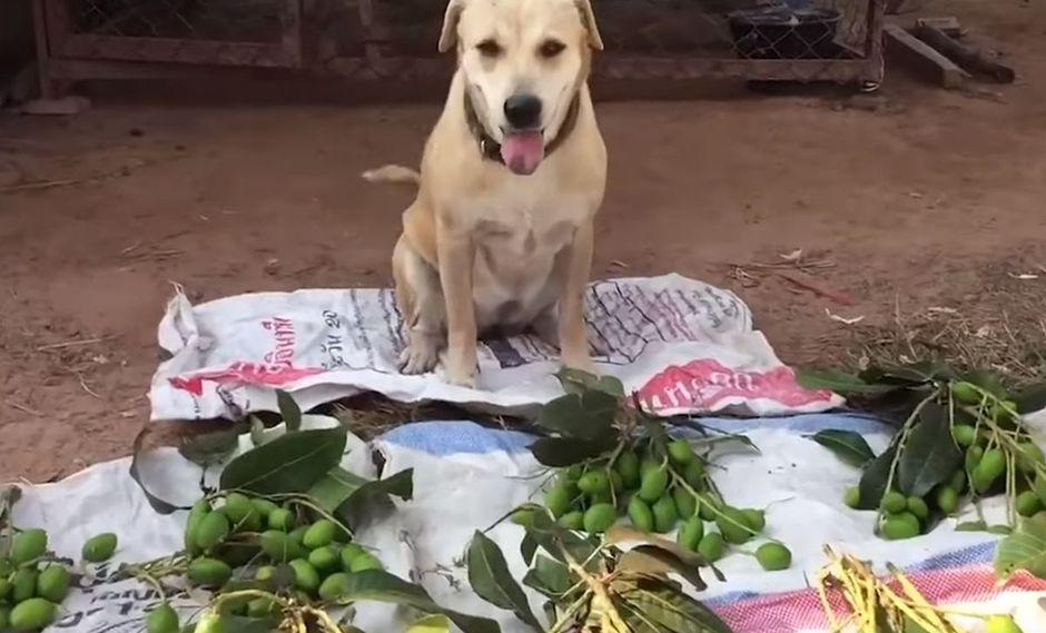 Conoce a Cream, el perrito que se hizo viral en redes sociales por 'vender' frutas en las calles | Foto: Captura de video YouTube / Viral Press