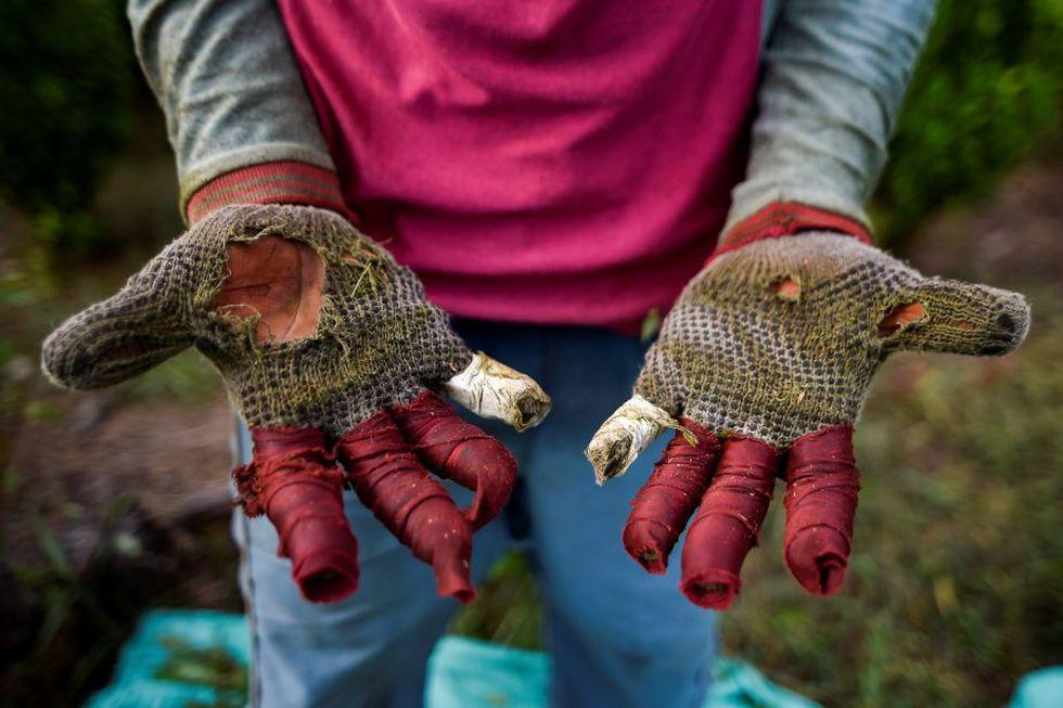 Con los primeros arbustos las manos se ampollan y parecen latir de la hinchazón, pero lo peor - ahora lo saben - es cuando la piel revienta en sangre.(Foto: Luis Robayo / AFP)