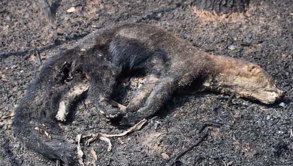 Un animal yace muerto durante los incendios forestales de 2021. Foto: Fundación Nativa.