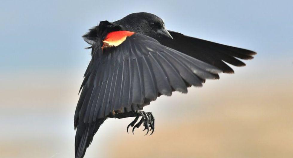 Los mirlos de alas rojas no tienen miedo de atacar a las personas que salen a hacer deporte en la calle. (Foto: Getty)