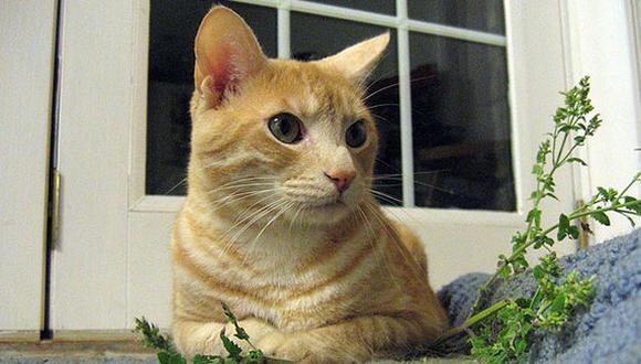 Los efectos del catnip en los gatos