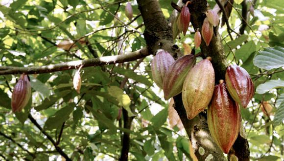 La exportación de cacao se vio afectada a raíz de la pandemia. (Foto: GEC)