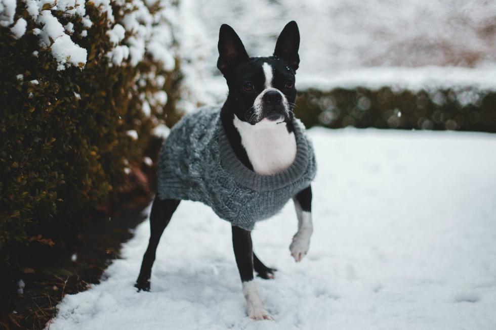 FOTO 1 DE 3 | ¿Es recomendable ponerle ropa a tu perro en invierno? Es importante tomar ciertas precauciones para hacerlo correctamente. | Foto: Pexels (Desliza a la izquierda para ver más fotos)
