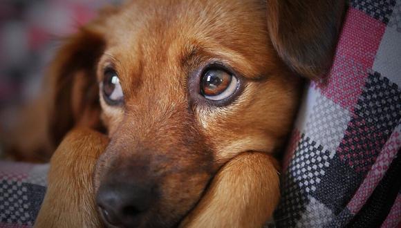 La perrita se llama Cambaxirra y ha conquistado los corazones de los internautas (Foto: Referencial / Pixabay)
