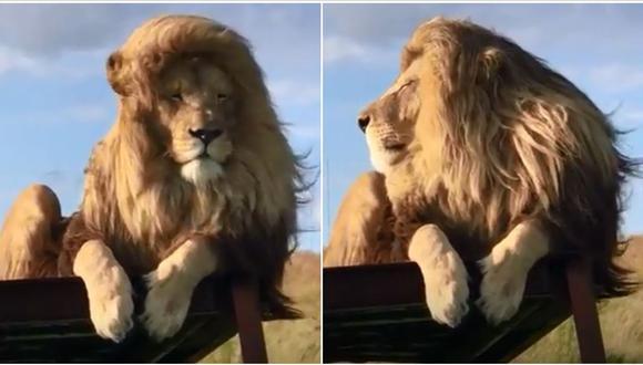 Un león de un santuario en Sudafrica cobró gran popularidad tras difundirse un video en YouTube. En las imágenes se aprecia al llamado 'Rey Daniel' actuando cual actor de Hollywood. (Foto: captura de video)