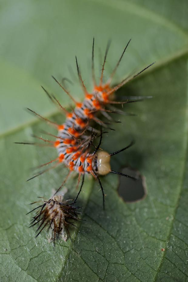 BELLEZA ACORAZADA. Oruga de mariposa que ha evolucionado largas espinas para protegerse de depredadores y poder volar. (Foto: Flor Ruiz)