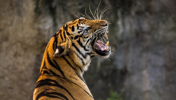 Furiosa tigresa asusta a un grupo de turistas al perseguir su auto en un safari en la India. (Foto: Pixabay / referencial)