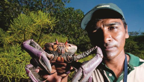 Los proyectos consisten en reproducir las conchas negras y los cangrejos en laboratorios, reduciendo así la cantidad de muertes por depredación o enfermedades, y luego insertarlas en el medio natural. Foto: Sernanp / Walter Wust