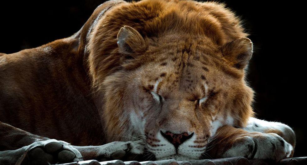 Muchas personas acuden al zoológico solo van a ver a los leones. (Foto referencial: Pixabay)