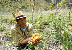 Aguaymanto: ¿Una fruta que protege al oso andino que habita en el parque Manu de Perú?