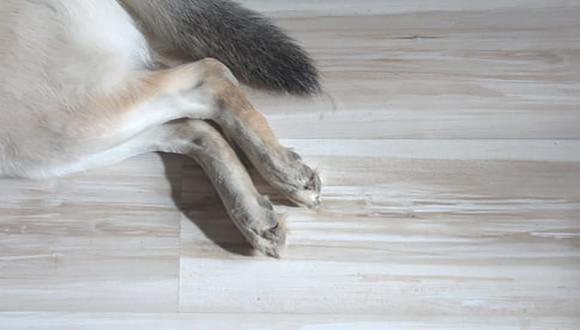 La cola ayuda al perro a equilibrar y balancear su cuerpo cuando realiza actividades de mayor esfuerzo, como: saltar, trepar o caer.
