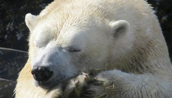 El pelo del oso polar puede retener el calor porquetiene una cavidad larga y cilíndrica en su centro. (Referencial - Pixabay)