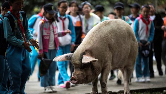 """Esta foto de archivo tomada el 25 de abril de 2018 muestra a un cerdo conocido como """"Zhu Jianqiang"""" en un museo en Anren, provincia de Sichuan (China). (Johannes EISELE / AFP)."""