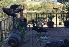 EE.UU.: varios cóndores causan caos en casa de una mujer en California