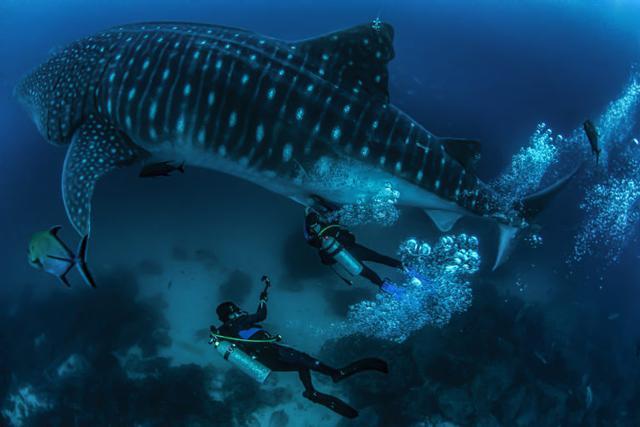 El tiburón ballena es el pez más grande del mundo. Foto: Jonathan Green